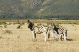 Weinprobe im Piccola Köln: Zebras in Südafrika